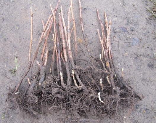 Sodo augalų poskiepiai