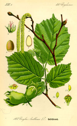 250px-Illustration_Corylus_avellana0