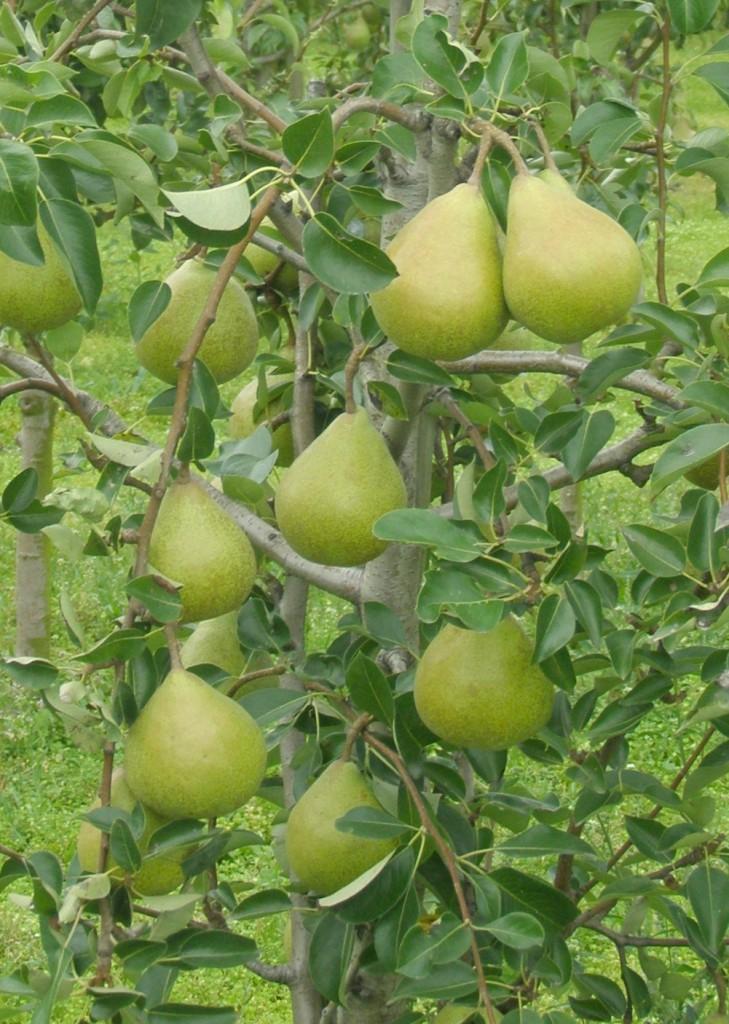 Carola_pear