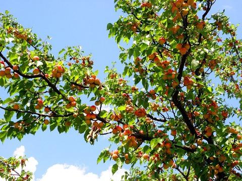 abrikos-3