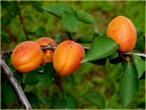 morela_early_orange_prunus_armeniaca_early_orange03