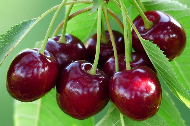 pol_pl_Wisnia-Wanda-Prunus-cerasus-7566_1