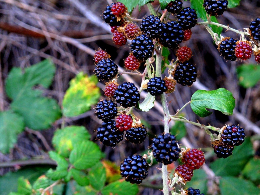 Photograph-Travel-Portugal-Wild-Blackberry-Bush-Food